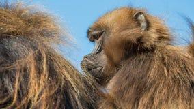 Porträt von afrikanischen Pavianen im offenen Erholungsort am blauen Himmel Lizenzfreies Stockfoto