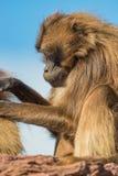 Porträt von afrikanischen Pavianen im offenen Erholungsort am blauen Himmel Lizenzfreie Stockfotos