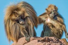 Porträt von afrikanischen Pavianen im offenen Erholungsort am blauen Himmel Stockbilder
