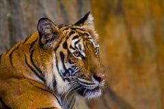 Porträt von Amur-Tigern Lizenzfreies Stockfoto