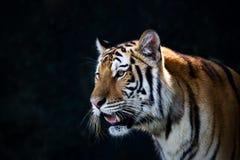 Porträt von Amur-Tigern Lizenzfreies Stockbild