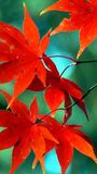Porträt von Autumn Leaves lizenzfreies stockfoto