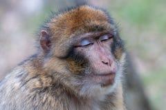 Porträt von Barbary-Makaken mit geschlossenen Augen Lizenzfreies Stockfoto