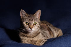Porträt von beige Tabby Kitten Lizenzfreies Stockbild