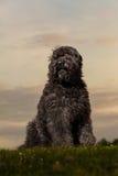 Porträt von Bouvier DES Flandres Lizenzfreie Stockfotos