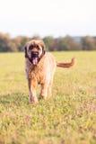Porträt von Briard-Hund auf Wiese Stockfotografie