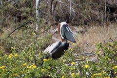 Porträt von Brown-Pelikan (Galapagos, Ecuador) Stockbilder