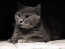 Porträt von Cheshire-Katze Stockfotos