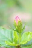 Porträt von Chinese-Rosen-Blüte (Hibicus Rosa sinensis) stockfotografie