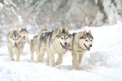 Porträt von den Hunden, die am Hundeschlitten-laufenden Wettbewerb teilnehmen lizenzfreies stockbild