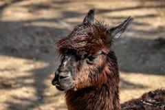 Porträt von domestizierten braunen Alpaka Vicugna pacos Spezies des südamerikanischen camelid stockbilder