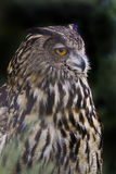 Porträt von Eagle Owl, Bubo Bubo Stockbild