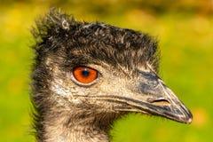 Porträt von ein Emu Dromaius novaehollandiae gehen mit orange Augen voran stockbild