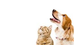 Porträt von einem Hunderussischen Spaniel-und -katze schottischen geraden Lizenzfreies Stockfoto