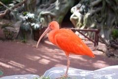 Porträt von einem IBIS im Zoo von Puebla stockbild
