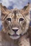 Porträt von einem jungen kleinen netten der Löwin und ein lustig Lizenzfreie Stockbilder