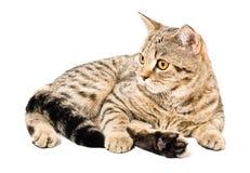 Porträt von einem Katze schottischen geraden Lizenzfreies Stockbild