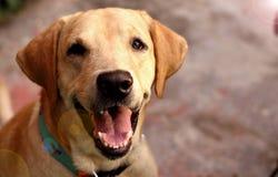Porträt von einem netten Labrador mit einem lächelnden Gesicht lizenzfreie stockbilder