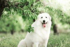 Porträt von einem netten weißen Maremma, das in einem geblühten Garten sitzt stockbilder