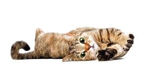 Porträt von einem reizend Katze schottischen geraden Lizenzfreie Stockbilder