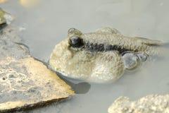 Porträt von einem riesigen Mudskipper Stockfoto