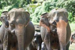 Porträt von Elefanten Stockfoto