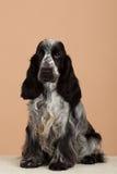 Porträt von Englisch cocker spaniel lizenzfreie stockbilder