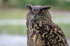Porträt von eurasischen Eagle Owl, der nach links schaut Lizenzfreies Stockfoto