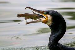 Porträt von fangenden Fischen des großen Kormorans stockbilder