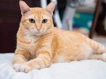 Porträt von fettem Ginger Cat Stockbilder