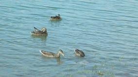 Porträt von Frauen der Ente auf dem Wasser stock video footage
