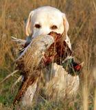 Porträt von gelbem Labrador mit Fasan Stockfoto