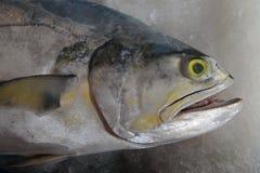 Porträt von großen Seefischgraustufen, weißer Bauch, offener Mund und gelbe Augen, ist auf dem Hintergrund des Eises Stockfotografie