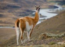Porträt von Guanaco Torres Del Paine chile Lizenzfreie Stockfotografie