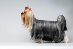 Porträt von Hund Yorkshires Terrier auf Weiß stockbild