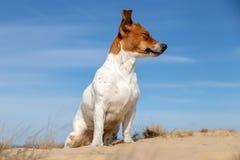 Porträt von Jack Russell Terrier auf dem Sand stockbild