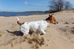 Porträt von Jack Russell Terrier auf dem Sand lizenzfreie stockfotos