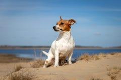 Porträt von Jack Russell Terrier auf dem Sand stockbilder