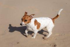 Porträt von Jack Russell Terrier auf dem Sand lizenzfreies stockfoto