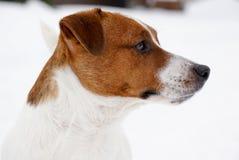 Porträt von Jack Russell Terrier Dog im Schnee Stockfoto