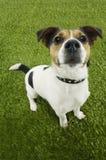 Porträt von Jack Russell Terrier Standing On Grass Lizenzfreie Stockbilder