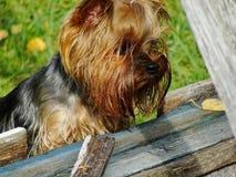 Porträt von jungem männlichem Yorkshire Terrier, zusammengebaut mit rotem Gummibandendstück des Haares auf dem Kopf Lizenzfreies Stockfoto