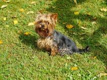 Porträt von jungem männlichem Yorkshire Terrier, zusammengebaut mit rotem Gummibandendstück des Haares auf dem Kopf Lizenzfreie Stockfotos