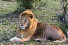 Porträt von König des Masais Mara Rest auf dem Gras Kenia, Afrika Lizenzfreies Stockfoto