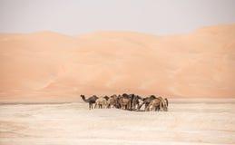 Porträt von Kamelen in der Wüste stockbild