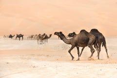 Porträt von Kamelen in der Wüste lizenzfreies stockfoto