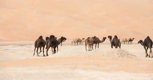 Porträt von Kamelen in der Wüste lizenzfreie stockbilder