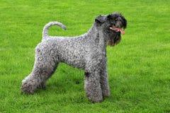 Porträt von Kerry Blue Terrier lizenzfreie stockfotografie