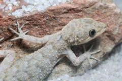 Porträt von Kotschy-` s Gecko, mediodactylus kotschyi lizenzfreies stockbild