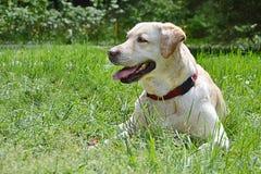 Porträt von Labrador-Hund Stockfotografie